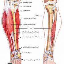 علت سفتی و گرفتگی عضلات ساق پا چیست؟